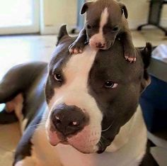 Adorable Pits!
