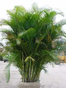 Areca, Palma de frutos de oro, Palmera amarilla, Palmera bambú, Reina de las palmas