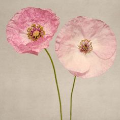 "Poppy Art, Fine Art Flower Photography Print """"Pink Poppies No. 4"""""