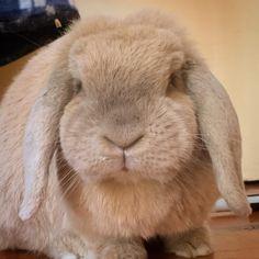 Farm Animals, Animals And Pets, Cute Animals, Holland Lop, Fluffy Bunny, Angora Rabbit, Stop Animal Cruelty, Natural Life, Cute Bunny