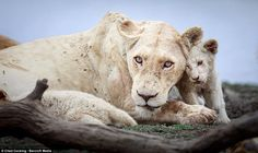 White magic: First-ever photos of newborn white lions in the wild Cubs Pictures, Gato Grande, Wild Lion, Rare Cats, Lion Wallpaper, Lion Cub, White Magic, Game Reserve, Siberian Tiger