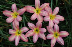 Rose Perfection Rain Lily for sale buy Zephyranthes 'Rose Perfection' Fairy Garden Plants, Cottage Garden Plants, Rain Garden, Beautiful Rose Flowers, Colorful Flowers, Yellow Flowering Plants, Rain Lily, Perennial Bulbs, Drought Tolerant Plants