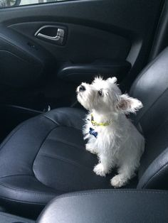 """Come on, Mommy, let's go!"" Darling Westie puppy loves her rides. :)"