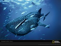 whales | Whale Shark Photo, Life in Color: Blue Wallpaper, Download, Photos ...
