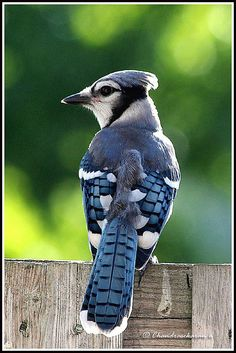 blue jay bold and beautiful, all the other birds seem scared of him.