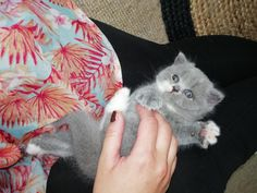 Arlette de vedette😍🐾🤗🐨 #catsandcolours #cattery #britishshorthair #catsofinstagram #cats_of_the_world #petstagram #catlover #playtime 🖱️www.catsandcolours.com