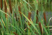 Typha  sp., Typha, Typhaceae Dunkjevlefamilien, SNITT
