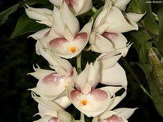 Catasetum pileatum 'Amorin'
