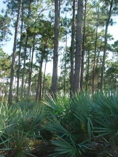Native Pine Rockland - so peaceful - IRC - Natives for Your Neighborhood