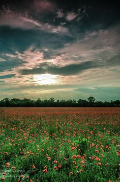 """500px / Photo """"Poppies II"""" by Andrea Cacopardi"""