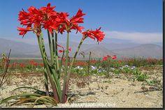 desierto florido añañuca - Buscar con Google