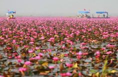 Unique Thailand: Nong Harn Lake of Udonthani | Bangkok Post:  red water liiles in nov to feb