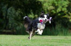 Border Collie, Running Dog, Playful, British Sheepdog