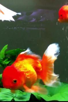 Goldfish Care, Goldfish Types, Fish Aquarium Decorations, Aquarium Fish, Beautiful Rose Flowers, Beautiful Fish, Dwarf Frogs, Parrot Fish, Pisces