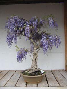 Wisteria Bonsai #bonsai #pinterest