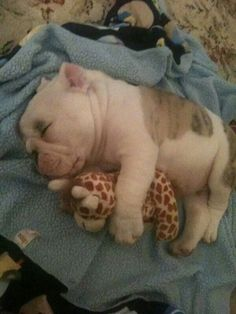 Adorable English Bulldog Puppy cuddling his Cuddly Giraffe Toy Best Friend Cute Puppies, Cute Dogs, Dogs And Puppies, Doggies, Terrier Puppies, Corgi Puppies, Funny Dogs, Boston Terrier, Cute Baby Animals