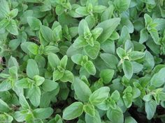 In Greek mythology the godess Aphorodite created Oregano as a symbol of happiness.