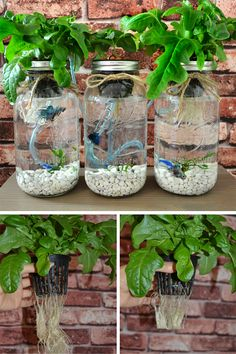 3 Mason Jar Aquaponics Kit - Build Your Own Hydroponics Herb Garden Wouldnt you like to grow your ow Hydroponic Herb Garden, Hydroponic Farming, Aquaponics Plants, Aquaponics Greenhouse, Hydroponic Growing, Herbs Garden, Aquaponics System, Aquaponique Diy, Organic Gardening