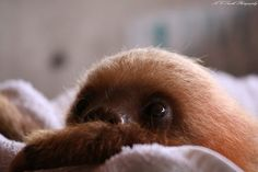 BABY SLOTH! I WANT ONE OF THESE