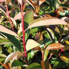 Vendita online Photinia Red Robin Corallo Photinia Red Robin, Plant Leaves