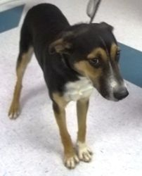 Buddy is an adoptable Hound Dog in Gillette, WY. Buddy is a sweetheart. He is very playful. Loves to play tug of war. He needs lots of exercise. ...
