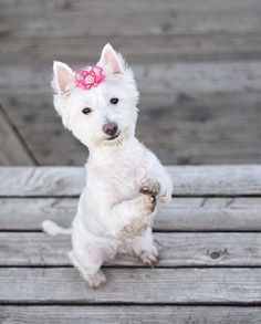 We don't know what Bella is begging for but with that sweet face she's sure to get it!  @happy_westie