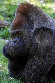"""What do you want?!"" KC Zoo male silverback gorilla"