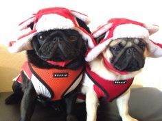 Pugs in winter hats