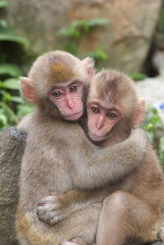 Childhood friend Snow Monkeys live in Jigokudani,Nagano prefecture. Wild Animals Photos, Baby Animals Pictures, Cute Animals, Monkey Pictures, Primates, Beautiful Creatures, Animals Beautiful, Monkey Tattoos, Ape Monkey