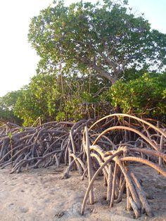 Red Mangrove (Rhizophora mangle)