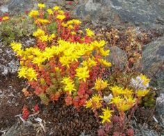 Full sun-easy to grow with little care-sedum-in-flower