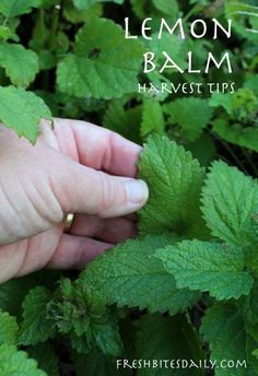 Harvesting lemon balm (one of my favorite herbs for anxiety)
