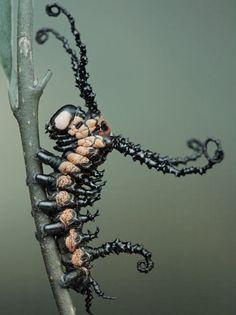 Brahmin moth caterpillar (Brahmaea wallichii) | Photo credit to Igor Siwanowicz | Insect of the Order: Lepidoptera