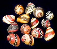 """People always ask me about design inspiration … i often answer """"by looking at nature"""" -> Zigzag Nerite / Neritina Communis"""