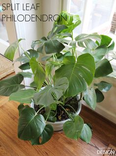 A new plant to love; Fiddle Leaf Fig vs Split Leaf Philodendron -