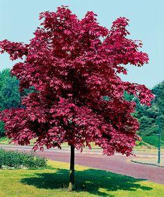 Skogslönn 'Crimson King' | Träd & buskar | Bakker Holland