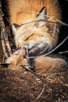 Mamma Fox and Baby Fox, photo by Jinny Montpetit on 500px