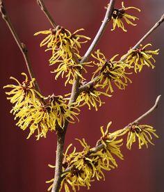 Witch Hazel. #winter #scent #butchartgardens Seeds Online, Witch Hazel, Salvia, Hydrangea, Fountain, Bloom, Trees, Winter, Plants
