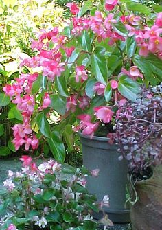 Pink Dragonwing begonia.e garden. Blooms in summer in full sun (in the north) to partial shade (in the south), tolerating extreme heat beautifully.  In container on deck for 2015. Planted with basil and sweet potatoe vine. Do this as hanging basket for front in 2016