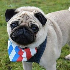 Reposted from @percypug27  TAG A FRIEND  by pugsproud