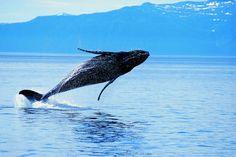 La #baleine (kujira), dossier sur les #animaux emblématiques du #Japon