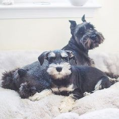 Check out our store for the best Schnauzer designs Tap link in our bio @schnauzerworld Made in the USA International delivery . credit: @sammytheschnauzer_ . For feature follow us + tag #schnauzerworld .