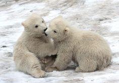 Polar bear twin.