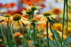Echinacea Summer Cocktail - meer op www.tuincentrumvaneeckhaut.be/bloemen-en-planten-voor-de-maand-oktober/