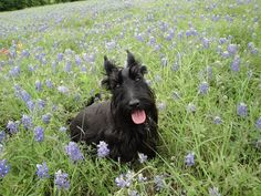 a Scottie named Molly sitting amid the bluebonnets