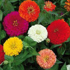 Benary's Giant Zinnia Flower - Seed Savers Exchange