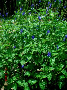 Stachytarpheta jamaicensis    Blue Porterweed  Full sun, to medium shade  Drought tolerant  Acidic, alkaline, sand, loam, or clay soil  5 yr. lifespan, reseeds