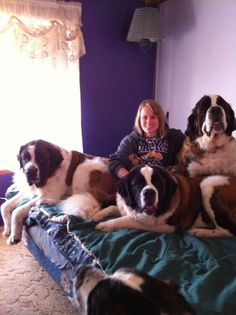 You need a king bad if you have more than one Saint Bernard! Dog Games, Animal Games, Pet Dogs, Dogs And Puppies, Dog Cat, Massive Dog Breeds, Really Big Dogs, St Bernard Puppy, Rare Dogs