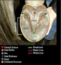 Anatomy of a hoof - if you don't know this you should. Without their hooves. there is no horse. Pretty Horses, Horse Love, Beautiful Horses, Horse Information, Horse Care Tips, Horse Anatomy, Animal Anatomy, Horse Facts, Horse Grooming