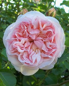Evelyn rose | A David Austin rose in the north garden. | Carol A. Mitchell | Flickr